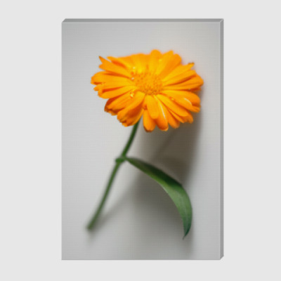 Холст Цветок календулы