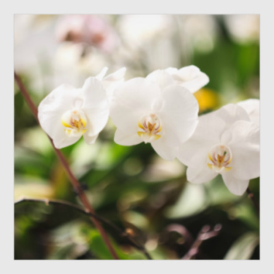 Постер орхидеи